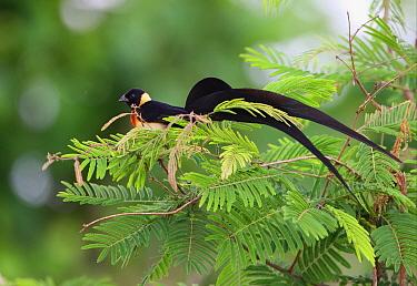 Eastern Paradise Whydah (Vidua paradisaea) adult male, in breeding plumage, feeding in tree, Tsavo West National Park, Kenya, november  -  Neil Bowman/ FLPA