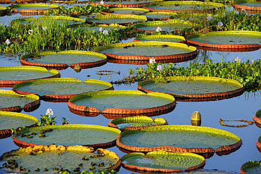 Victoria Waterlily (Victoria amazonica) leaves, floating on surface with Water Hyacinth (Eichhornia sp), Pantanal, Mato Grosso, Brazil  -  Malcolm Schuyl/ FLPA