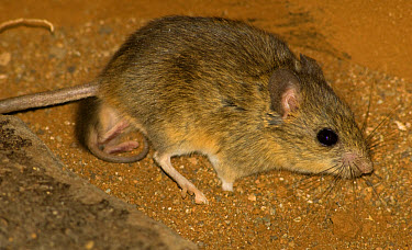 Namaqua Rock Mouse (Michaelamys namaquensis) adult female, with nipple-clinging young, Loxton, Northern Cape, South Africa  -  Chris and Tilde Stuart/ FLPA