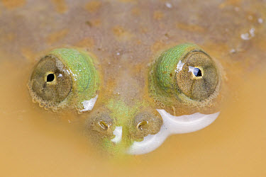 Budgett's Frog (Lepidobatrachus laevis) adult, close-up of eyes, at surface of muddy water, captive  -  Chris Mattison/ FLPA