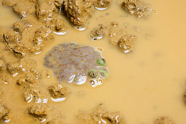 Budgett's Frog (Lepidobatrachus laevis) adult, at surface of muddy water, captive  -  Chris Mattison/ FLPA