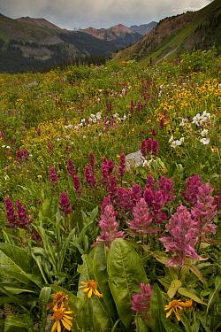 Rosy Paintbrush (Castilleja rhexifolia) flowering, in mountain habitat, Black Bear Pass, Ouray, San Juan Mountains, Colorado  -  Bob Gibbons/ FLPA