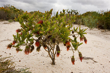 Shaggy Dryandra (Dryandra speciosa) flowering, on sandy Kwongan heath, Alexander Morrison National Park, Western Australia, Australia  -  Bob Gibbons/ FLPA