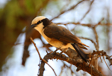 Northern White-crowned Shrike (Eurocephalus rueppelli) adult, perched in tree, Lake Baringo, Great Rift Valley, Kenya, november  -  Neil Bowman/ FLPA