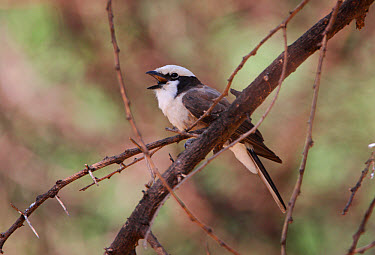 Northern White-crowned Shrike (Eurocephalus rueppelli) adult, regurgetating pellet, Lake Baringo, Great Rift Valley, Kenya, november  -  Neil Bowman/ FLPA