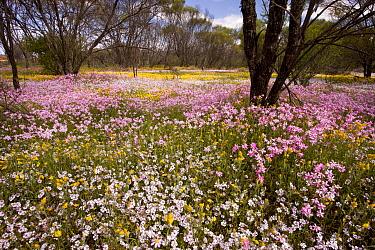 Dying acacia woodland with Pink Everlasting and Pink Velleia, Camel Soak, near Perenjori, Western Australia, Australia  -  Bob Gibbons/ FLPA