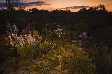 Flowers in Kwongan heath habitat at night, just after sunset, Alexander Morrison National Park, Western Australia, Australia  -  Bob Gibbons/ FLPA