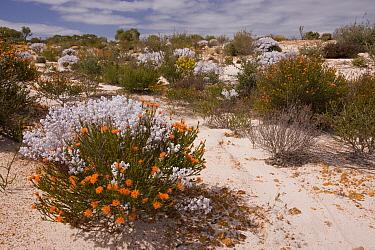 Sandy Kwongan heath, with Eremaea brevifolia and Lambswool Bush (Lachnostachys eriobotrya), Alexander Morrison National Park, Western Australia  -  Bob Gibbons/ FLPA