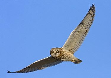 Short-eared Owl (Asio flammeus) adult, in flight, Finland, may  -  Harri Taavetti/ FLPA