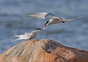Arctic Tern (Sterna paradisea) adult pair, courtship feeding, male giving fish to female, Finland, may  -  Harri Taavetti/ FLPA