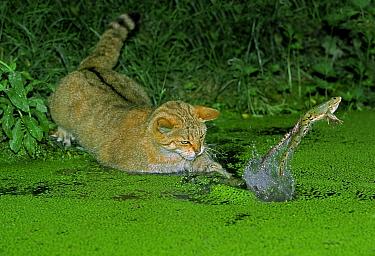 European Wild Cat (Felis silvestris) adult, hunting Edible Frog (Rana esculenta) leaping from water, France  -  Gerard Lacz/ FLPA