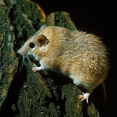 Arabian Spiny Mouse (Acomys dimidiatus) adult, climbing on stump, captive  -  Gerard Lacz/ FLPA