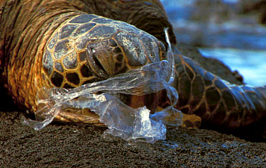 Pacific Green Turtle (Chelonia mydas agassisi) adult female, suffocating on injested plastic bag, mistaken for jellyfish, Big Island, Hawaii, june  -  Rebecca Hosking/ FLPA