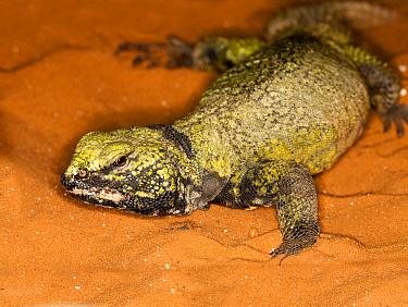 Saharan Spiny-tailed Lizard (Uromastyx acanthinurus) adult, walking on sand, captive  -  Gerard Lacz/ FLPA