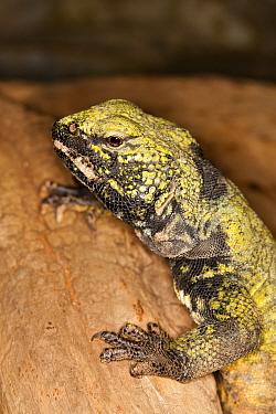 Saharan Spiny-tailed Lizard (Uromastyx acanthinurus) adult, close-up of head, resting on rock, captive  -  Gerard Lacz/ FLPA