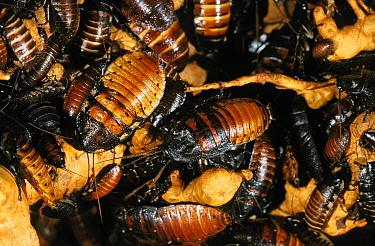 Madagascar Hissing Cockroach (Gromphadorhina portentosa) group, captive  -  Gerard Lacz/ FLPA