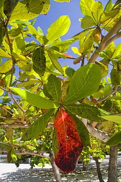 Indian Almond (Terminalia catappa) leaves changing colour at being of dry season, Palawan Island, Philippines  -  Nicholas and Sherry Lu Aldridge/