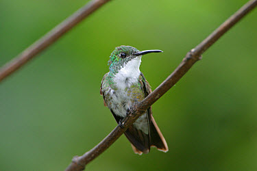 White-chested Emerald (Amazilia chionopectus) adult, perched on twig, Trinidad, Trinidad and Tobago, november  -  Robin Chittenden/ FLPA