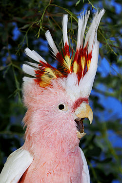 Major Mitchell's Cockatoo (Lophochroa leadbeateri) adult, calling with crest raised, close-up of head, captive  -  Gerard Lacz/ FLPA