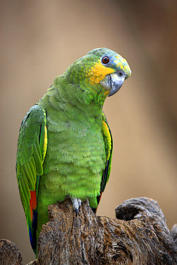 Orange-winged Amazon Parrot (Amazona amazonica) adult, perched on stump, captive  -  Jurgen and Christine Sohns/ FLPA