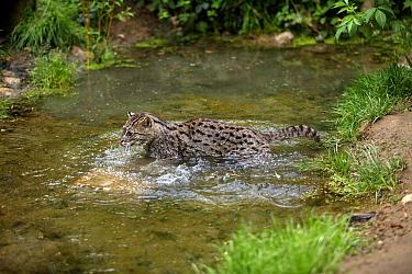 Fishing Cat (Prionailurus viverrinus) adult, hunting in water, captive  -  Gerard Lacz/ FLPA