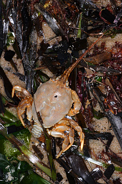 Masked Crab (Corystes cassivelaunus) dead, washed up on strandline, Studland Bay, Dorset, England, march  -  Steve Trewhella/ FLPA