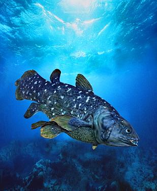 Coelacanth (Latimeria chalumnae) adult, swimming underwater, digital composite  -  Gerard Lacz/ FLPA