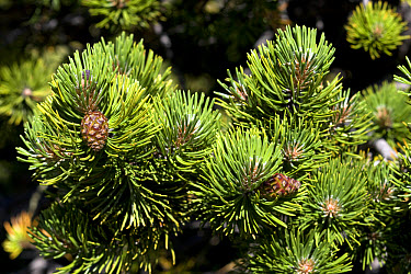 Mountain Pine (Pinus uncinata) close-up of cones and needles, Vercors, Alps, France, july  -  Robin Chittenden/ FLPA