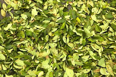 Coca (Erythroxylum coca) cocaine production, close-up of drying leaves, Pilcopata Village, Andes, Peru  -  Gerard Lacz/ FLPA