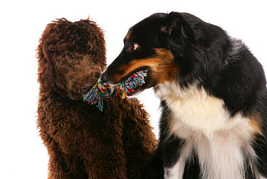 Domestic Dog, Border Collie, adult male, and Labradoodle, young female, playing tug-of-war with rag toy  -  Chris Brignell/ FLPA