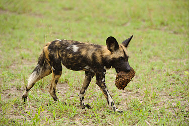 African Wild Dog (Lycaon pictus) pup, carrying elephant dung in mouth, Kwando Lagoon, Linyanti, Botswana  -  Shem Compion/ FLPA