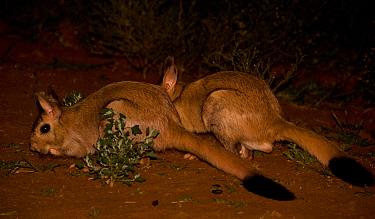Springhare (Pedetes capensis) adult pair, feeding on fresh grass growth at night, Mokala National Park, Northern Cape, South Africa  -  Chris & Tilde Stuart/ FLPA