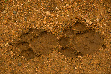 Lion (Panthera leo) footprints, slipping in mud, back paw (left) and front paw (right), Timbavati River, Kruger National Park, South Africa  -  Chris & Tilde Stuart/ FLPA