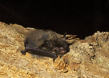 Brandt's Bat (Myotis brandtii) adult, resting on branch, England  -  Hugh Clark/ FLPA