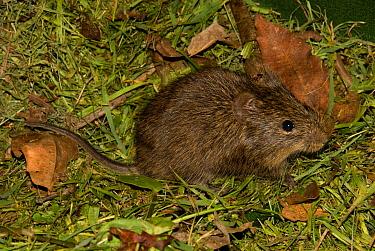 African Marsh Rat (Dasymys incomtus) adult, Lajuma, Soutpansberg, Limpopo Province, South Africa  -  Chris & Tilde Stuart/ FLPA