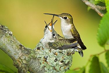 Ruby-throated Hummingbird (Archilochus colubris) adult female, with chicks begging at nest  -  S & D & K Maslowski/ FLPA