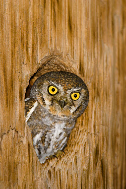Elf Owl (Micrathene whitneyi) adult, looking out from roost hole  -  S & D & K Maslowski/ FLPA