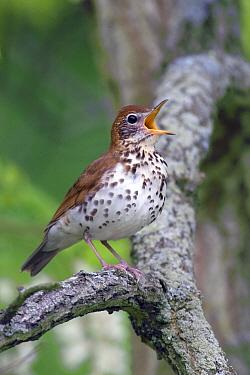 Wood Thrush (Hylocichla mustelina) adult male, singing, perched on locust branch  -  S & D & K Maslowski/ FLPA