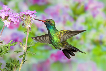 Broad-billed Hummingbird (Cynanthus latirostris) adult male, in flight, feeding at flowers  -  S & D & K Maslowski/ FLPA
