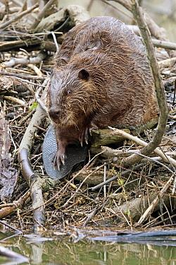 American Beaver (Castor canadensis) adult, standing on lodge  -  S & D & K Maslowski/ FLPA