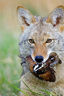 Coyote (Canis latrans) adult, feeding on bobwhite quail, close-up of head  -  S & D & K Maslowski/ FLPA
