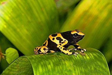 Black and Yellow Poison Dart Frog (Dendrobates leucomelas) adult, sitting on leaf, captive  -  Gerard Lacz/ FLPA