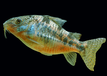 Bronze Catfish (Corydoras aeneus) adult, swimming, captive  -  Gerard Lacz/ FLPA