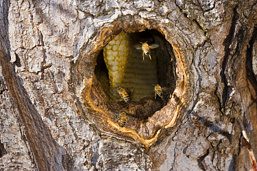 Western Honey Bee (Apis mellifera) four adults, in flight, at entrance to hive in hole of honey locust tree trunk  -  S & D & K Maslowski/ FLPA
