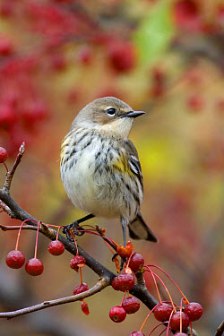Yellow-rumped Warbler (Dendroica coronata) Myrtle race, adult, winter plumage, perched on crabapple with fruit  -  S & D & K Maslowski/ FLPA