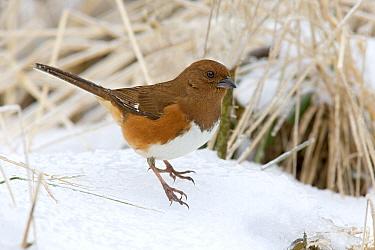 Eastern Towhee (Pipilo erythrophthalmus) adult female, standing on snow, U.S.A., winter  -  S & D & K Maslowski/ FLPA