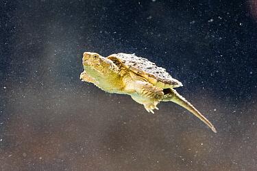 Common Snapping Turtle (Chelydra serpentina) immature, swimming underwater  -  S & D & K Maslowski/ FLPA
