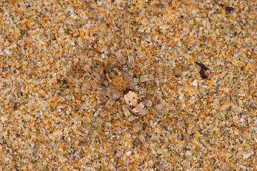 Sand Wolfspider (Arctosa perita) adult, camouflaged on coastal sand dunes, Rock, Cornwall, England, april  -  Steve Trewhella/ FLPA