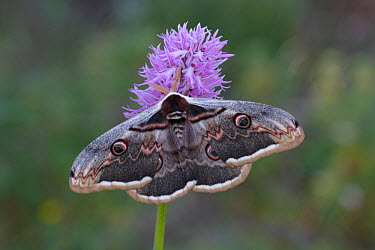 Great Peacock (Saturnia pyri) adult male, resting on Naked Man Orchid (Orchis italica), Sicily, Italy, april  -  Gianpiero Ferrari/ FLPA