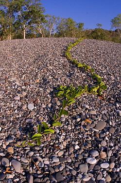 Morning Glory (Ipomoea sp) vine on pebble beach, North Wetar Island, Alor Archipelago, Lesser Sunda Islands, Indonesia  -  Colin Marshall/ FLPA